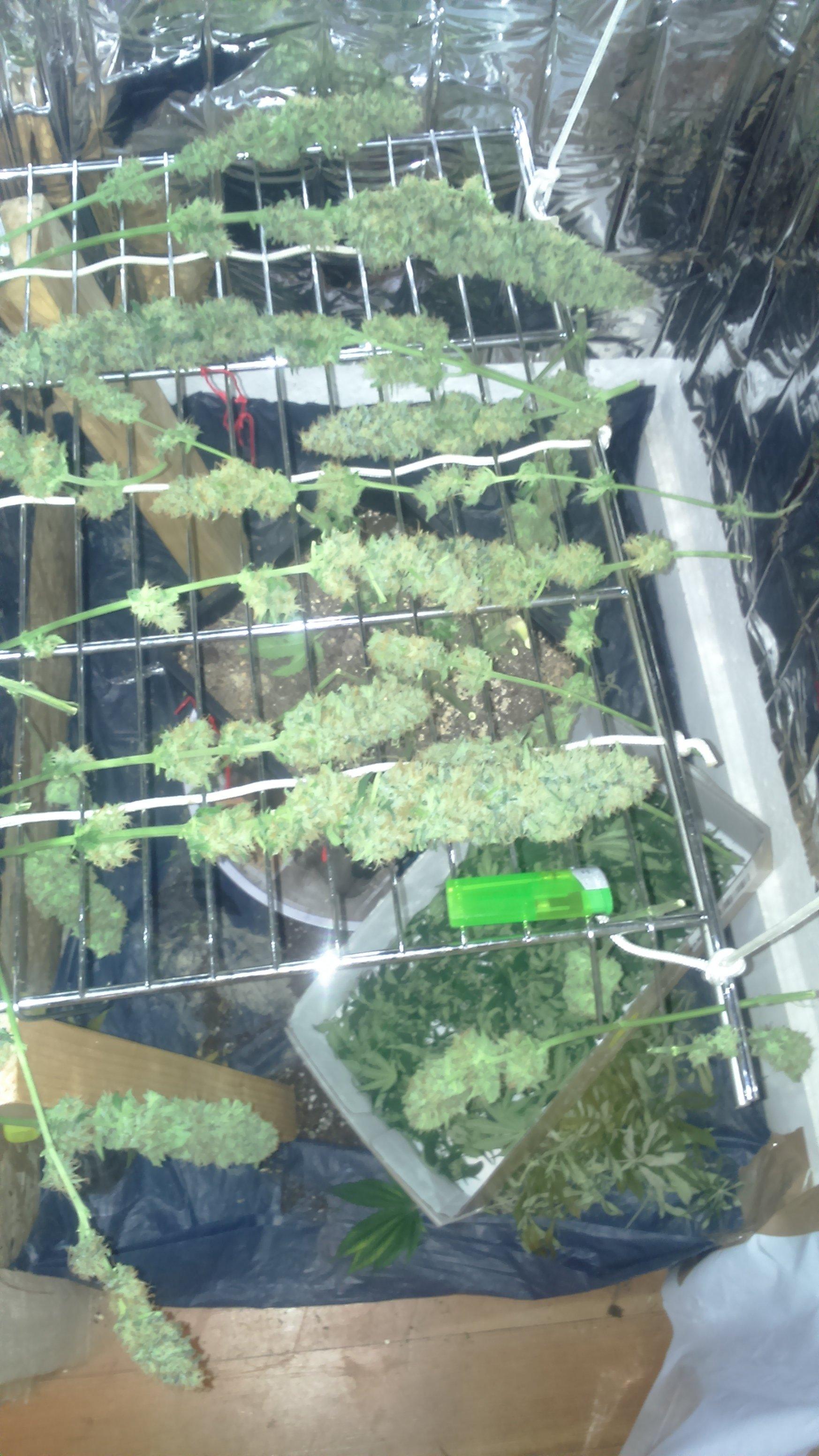 Grow 1 Purepowerplant Im Schrank Outdoor Forum